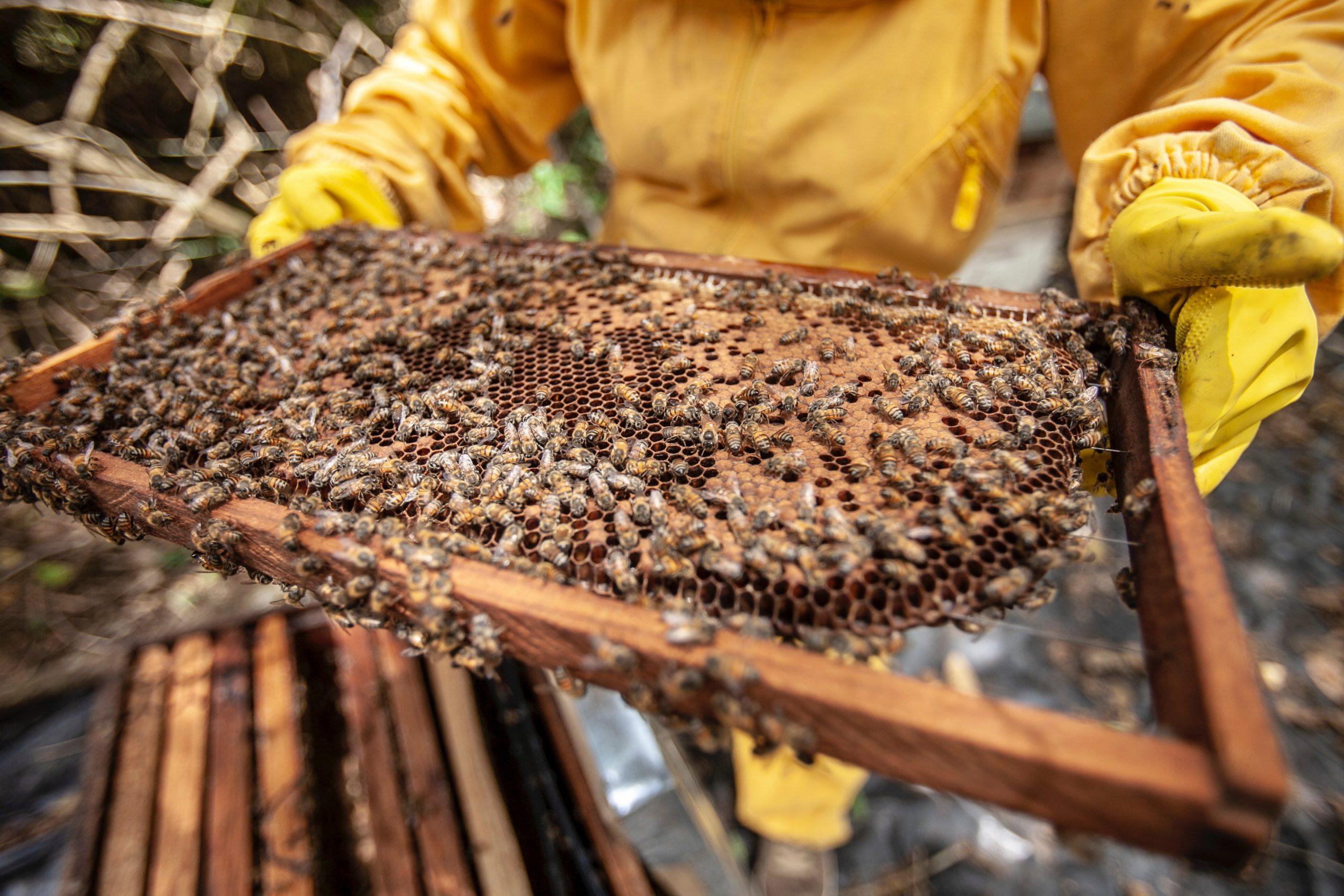 zbieramy jad z pszczeli